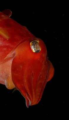 #cuttlefish #reef #marine