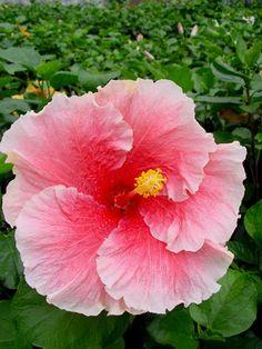 "Tropical hibiscus ""Fantasy Charm"""
