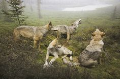 Wolves in Algonquin Park by JDB Photos Coyote Hunting, Archery Hunting, Pheasant Hunting, Canadian Wildlife, Algonquin Park, Deer Hunting Blinds, Timber Wolf, Wolf Love, Beautiful Wolves