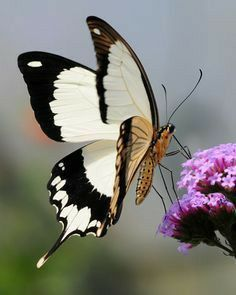 Papillon Butterfly, Butterfly Kisses, Butterfly Flowers, Butterfly Wings, White Butterfly, Peacock Butterfly, Madame Butterfly, Butterfly House, Butterfly Template