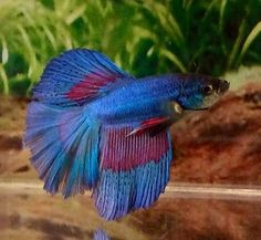 + images about Betta fish and aquariums on Pinterest Betta, Betta ...