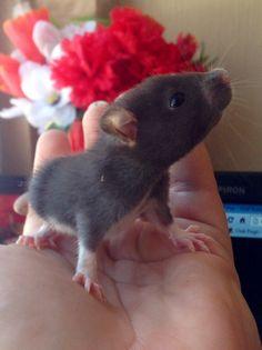 Sweet pet rat♥