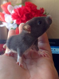 Sweet pet rat♥