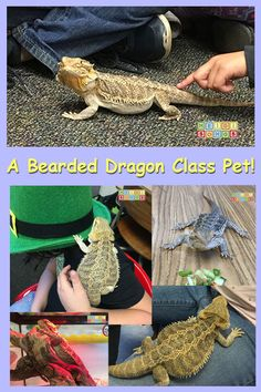 A Bearded Dragon Class Pet! Info on how much fun this really is. #reptiles