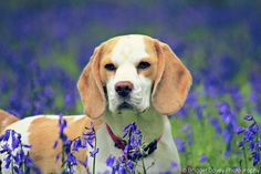 Beagles and Bluebells