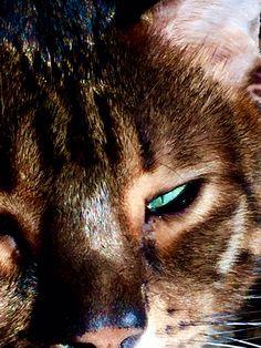 Razzmatazz Cats, Animals, Gatos, Animales, Animaux, Kitty, Cat, Cats And Kittens, Animal
