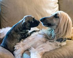 Aaaaw... Via Facebook Ric Allan Afghan Hound Puppy, Hound Puppies, Tibetan Terrier, Dog Things, Young Adults, Afghans, Terriers, Best Dogs, Dog Breeds