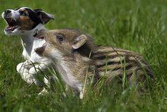 Le chien et le sanglier qui s'amusent sur la pelouse