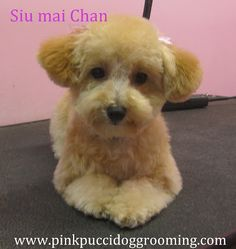 asian maltipoo grooming style - Google Search