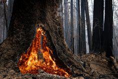 Hundreds of Trees Burned at Big Basin Redwoods State Park - The New York Times Big Basin Redwoods, Boulder Creek, California Wildfires, Giant Tree, Forest Floor, Yosemite Valley, San Luis Obispo, Pilgrimage, State Parks
