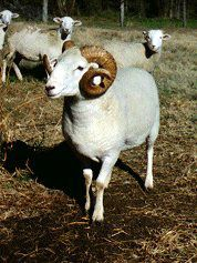 Breeds of Livestock - Wiltshire Horn Sheep — Breeds of Livestock, Department of Animal Science WOOL SHEEP THAT SHEDS ITSELF NATURALLY, SHOULD WORM, SMALL LAMBS, BIG BONES, BIG MEAT, SLOW GROWER, W ST CROIX (GOLDEN CROSS) 50LBS