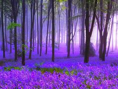 Sherwood Forest, in England, home of Robin Hood, in the spring, with all the bluebells.