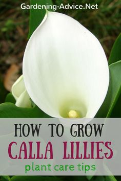 Learn all about Calla Lily Plant Care. Grow Calla Lilies for their magnificent flowers in perennial borders or as a house plant. This easy to grow perennial plant is great for flower bouquets and is popular for weddings. Plant some calla lily bulbs into containers or grow them in borders or near ponds.