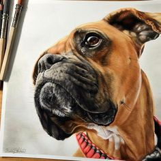 Ella the Boxer Dog. Realism with Animal Portrait Drawings. By Kelly Lahar.