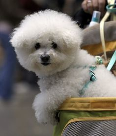 Sweet bichon!!  but then show me one that isn't!