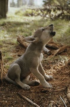 Animal Behavior Photograph - A Nine-week-old Gray Wolf Pup, Canis by Jim And Jamie Dutcher Beautiful Wolves, Animals Beautiful, Beautiful Creatures, Cute Baby Animals, Animals And Pets, Strange Animals, Wild Animals, Baby Huskys, Tier Wolf