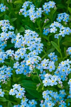 Genus: Myosotis When they bloom: It depends when you plant them, but typically in springtime. Why we love them: Among many other lovely characteristics, these blue blooms are the Alaskan state flower.