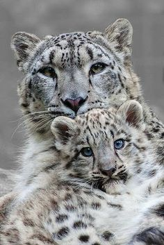 Mother and Son Snow Leopards
