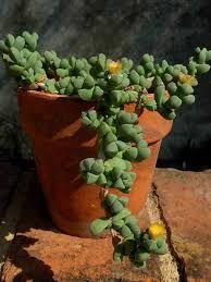 Resultado de imagem para Corpuscularia lehmannii