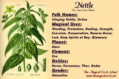 Nettle Magical Properties - The Magical Circle School - www.themagicalcircle.net
