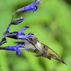 What Plants Do Hummingbirds Love Most? Hummingbird Nectar, Hummingbird Flowers, Hummingbird Garden, Hummingbird Pictures, Flowers That Attract Hummingbirds, Attracting Hummingbirds, Butterfly Plants, Butterflies, Gardens