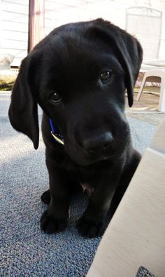 i wish my black lab charoltte, was still this little!