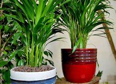 Les règles à suivre pour réussir le rempotage de son palmier d'intérieur.
