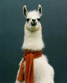 Scarf wearing llama=sophisticated llama