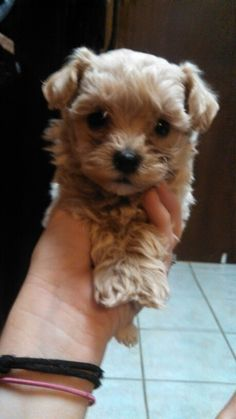 Maltipoo Puppies For Sale near Raleigh NC. Maltepoo