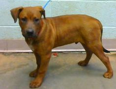 STATUS UNKNOWN - Cedric (chipped) - URGENT - located at Dekalb County Animal Shelter in Decatur, Georgia - 4 MONTH OLD Am. Pit Bull Mix