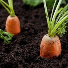 Growing carrots and other root vegetables in the garden : Yard and Garden : University of Minnesota Extension Market Garden, Easy Vegetables To Grow, Garden, Farm, Growing Carrots, Growing, Vegetable Garden, Outdoor Gardens, Farm Gardens