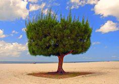 Fort Myers Beach Tree