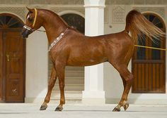 I always loved Arabians...they seemed almost too pretty to be real.