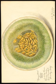 Artist:     Newton, Amanda Almira, ca. 1860-1943  Scientific name:     Cucumis melo  Common name:     melons  Variety:     Honey Dew  Geographic origin:     Brawley, Imperial County, California, United States  Physical description:     1 art original : col. ; 17 x 25 cm.  NAL note:     Alternative variety name(s): Antibes Green Winter Melon  Specimen:     89046  Year:     1916  Date created:     1916