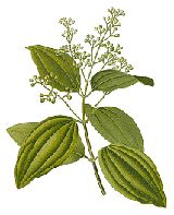Cinnamon (Dalchini) is a herb traditionally used by many ancient cultures.