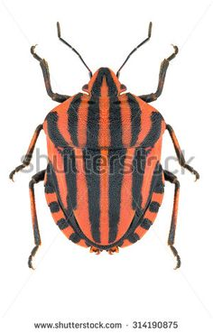 The striped shield bug Graphosoma lineatum isolated on white background, dorsal view - stock photo Shield Bugs, Bugs And Insects, Royalty Free Stock Photos, Patterns, Beautiful, Insects, Animales, Beetle, Pictures
