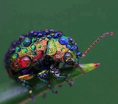 Rainbow leaf beetle - found throughout Eurasia