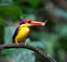 """Oriental Dwarf-kingfisher (Ceyx erithaca) """"industrious parent"""""""
