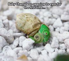 Baby chameleon...