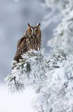 Whooo is watching that little field mouse scrambling across the snow to reach that pine cone?