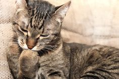 Domestic shorthair cat licking his paw