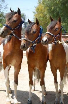 Miniatures Horses