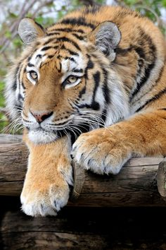 ~~are you done ??? | lounging tiger by Josef Gelernter~~