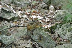Chipmunk in Camouflage