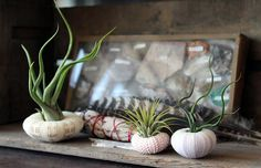 mixed trio // air plant sea urchins // by by peacocktaco on Etsy