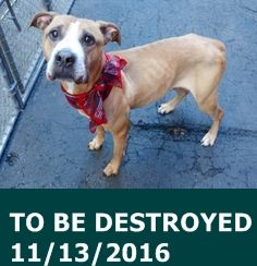 SAFE 11-15-2015 --- Manhattan Center – P My name is BOB. My Animal ID # is A1057155. I am a female brown and white pit bull mix. The shelter thinks I am about 7 YEARS old. I came in the shelter as a STRAY on 11/06/2015 from NY 10460, owner surrender reason stated was STRAY. http://nycdogs.urgentpodr.org/bob-a1057155/