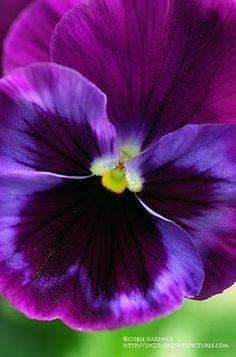 Pansy Viola x wittrockiana 'Delta Premium Neon Violet'