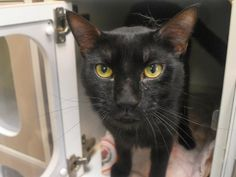 LOU - A1088072 - - Manhattan   *** TO BE DESTROYED 09/13/16 *** A SECOND CHANCE FOR A YOUNG BEGINNER EBONY LADY MILA WHOSE RESCUE FELL THROUGH….. AND NOW THEY HAVE ALSO ADDED 3 OF HER PALS TO TONIGHT'S LIST!! Beginner MILA came into the shelter with a larger group of kitties. THe ACC mentions that she had kittens but no other info was given to where they are now. Tonight, GABRIEL, ROSIE AND LOU have been added to this group of house panthers that they want to ki