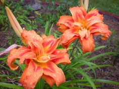 double daylily - - love!                                                                               in the rain