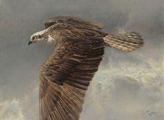 Flying over the eagle. Osprey (Pandion haliaetus)